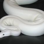 ♀ Lesser Pied Female mit 2100g.
