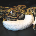 ♀ Piebald proven Breeder Female 3400g.
