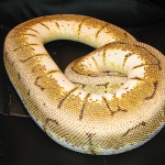 ♀ Spinner Blast proven Breeder Female 2008.