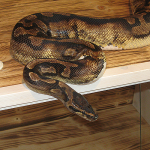 ♀ low white Pied proven Breeder Female 2800g