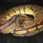 ♀ Enchi het Pied Female 1600g.