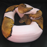 ♀ Pin Pied Female 1600g
